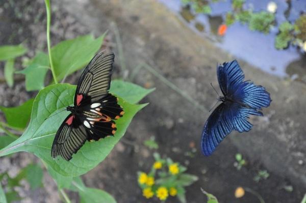Great Mormon butterflies