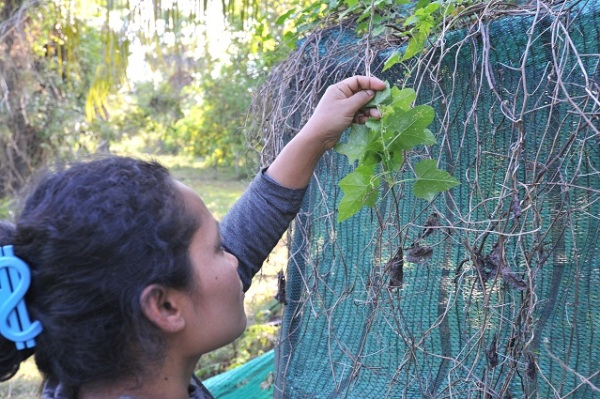 Savai checking butterfly eggs
