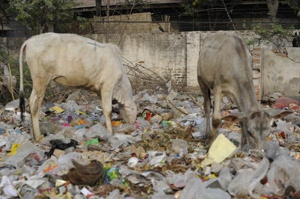 cows and rubbish