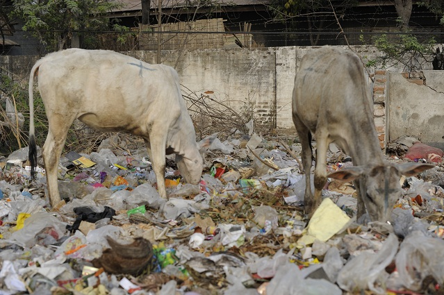 cows and rubbish