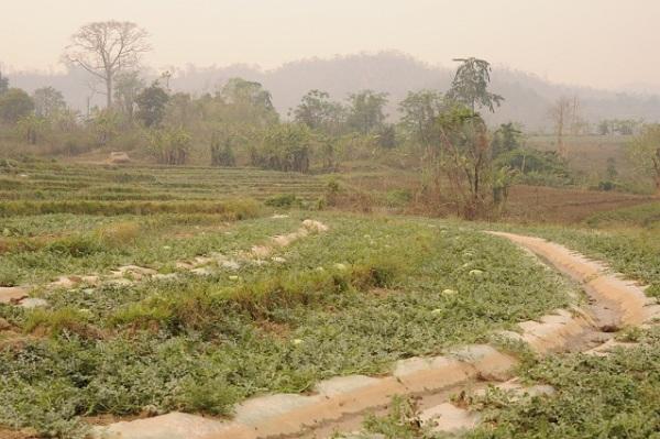 melon crops