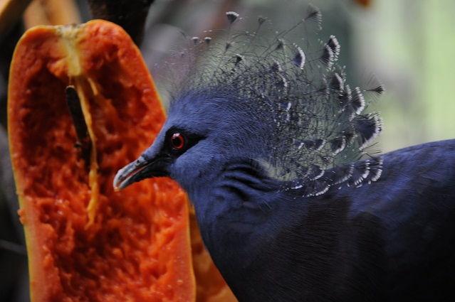 royal pigeon