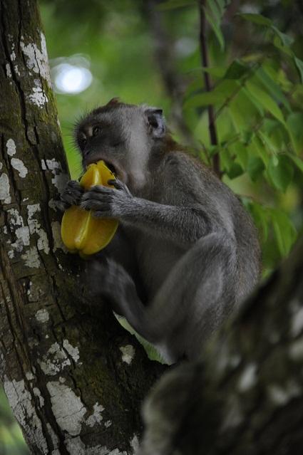 monkey and star fruit
