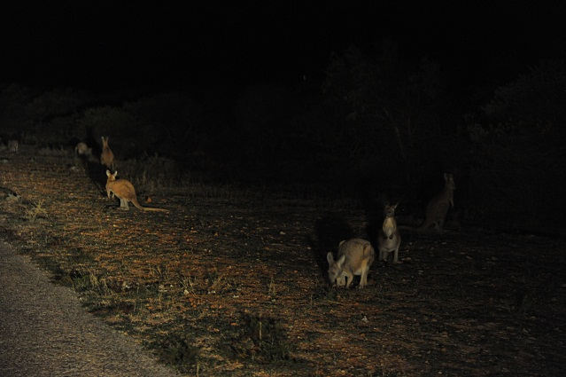 kangaroos close to the road