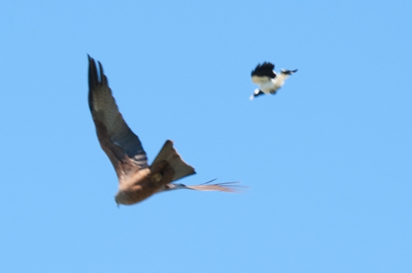small bird chasing black kite