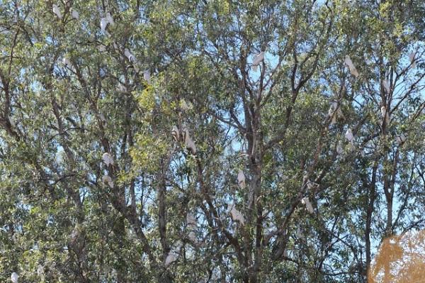 cockatoes tree