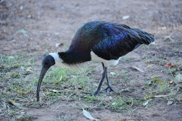 coloured ibis