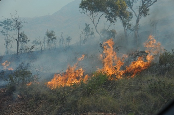 fire bush