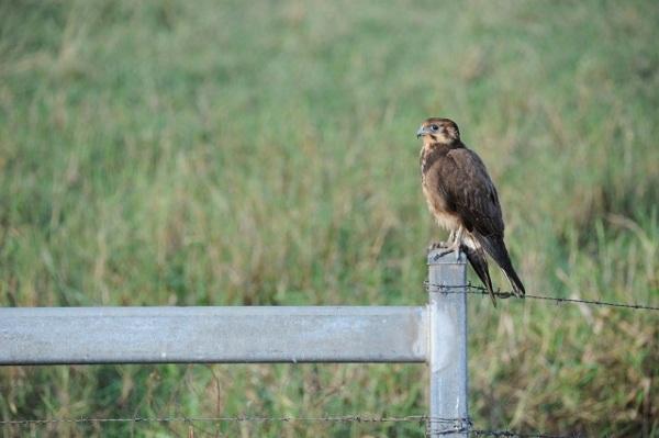 eagle on fence